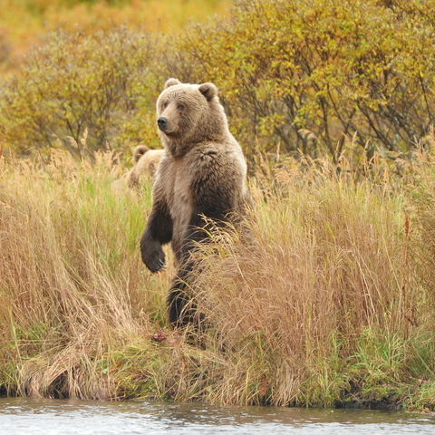 Guided Kodiak Brown Bear Viewing on Kodiak Island card image